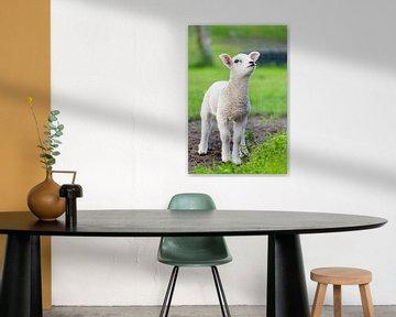 Neugeborenes weißes Lamm in der grünen Wiese im Frühjahr von Ben Schonewille