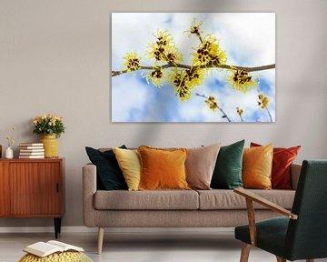 Gelbe Blumen der chinesischen Hamamelis blühen im Winter mit Himmel als Hintergrund von Ben Schonewille