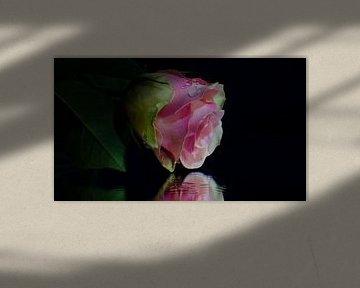 rose roos op een spiegel von Eugene Lentjes