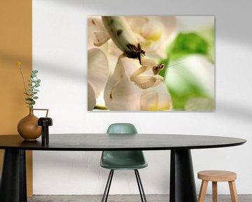 White orchid mantis on white orchid van Jelle Ursem