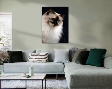Ragdoll poes Miracles Douces Daisy sur Corry Husada-Ghesquiere