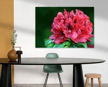 Rododendron in bloei van Corry Husada-Ghesquiere