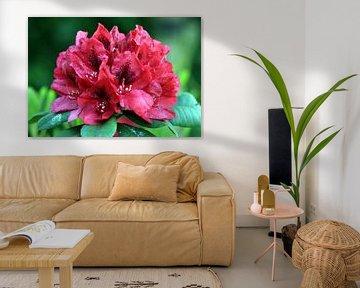 Rododendron in bloei