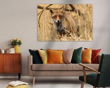 Rode vos verscholen in het riet