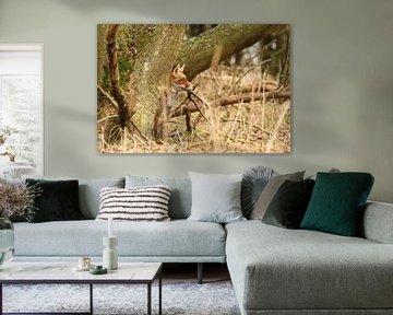 Rode vos verscholen achter een  boom