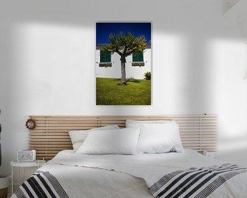 Drakenbloedboom tuin huis