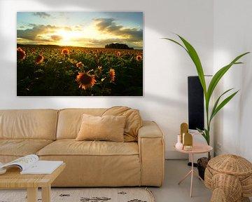 Feld mit Sonnenblumen bei Sonnenuntergang in Süd-Frankreich