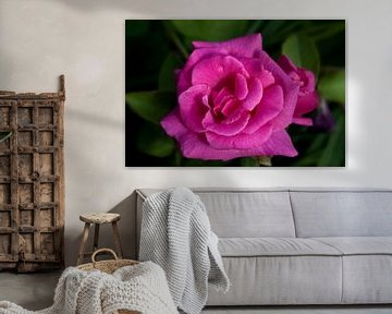 hot pink rose van foto-fantasie foto-fantasie