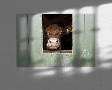 Nieuwsgierige koe I