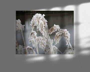 Bevroren rietpluimen aan de waterkant van Froukje Hobma