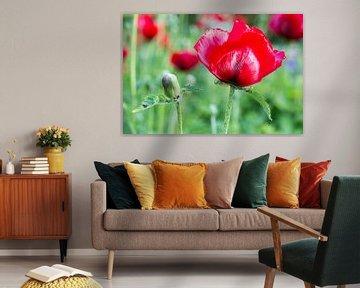 Mohnblume mit roten Mohnblumenknospe im Sommer Saison von Ben Schonewille