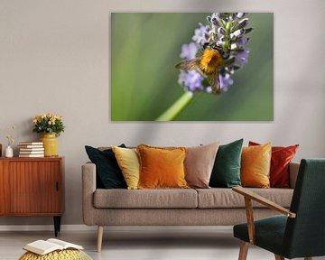 Biene auf Lavendel mit grünem Hintergrund von Joke te Grotenhuis