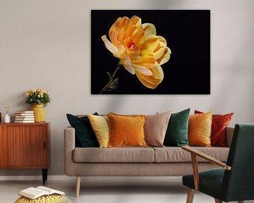 """""""Wärme"""" - Yellow Dahlia auf schwarzem Hintergrund von Rob van der Post"""