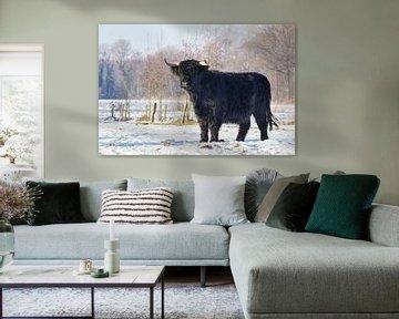 Zwarte Schotse Hooglander koe staat in winterse sneeuw van Ben Schonewille