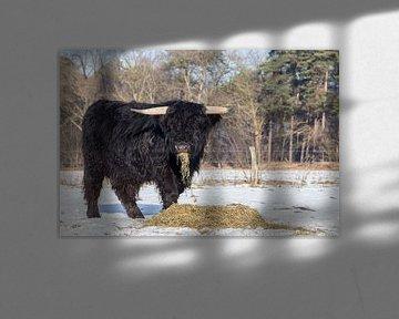 Zwarte schotse hooglander stier eet hooi in weide met sneeuw van Ben Schonewille