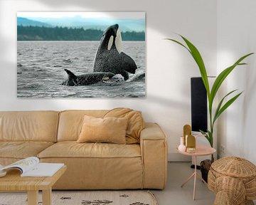 Spyhopping orka moeder met kalfje van Marjoleine Roos
