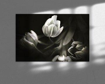 tulips 1 van bob brunschot