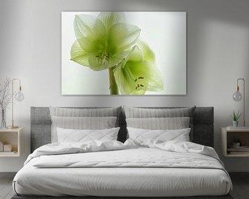 Amaryllis in wit von Ellen Driesse