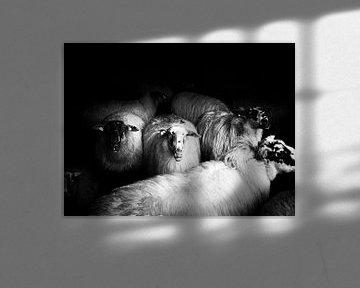 sheep von Lex Schulte