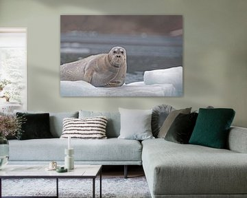Baardrob  op ijsschots van Peter Zwitser