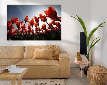 Tulpen. von Paolo Gant