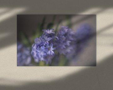 Hyacint in blauw von Ellen Driesse