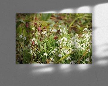 Schneeglöckchen und Christrose  von Cora Unk