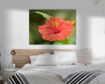 Rode hibiscus macro