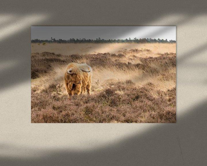 Sfeerimpressie: Schotse Hooglander op de Heide van Henri van Avezaath