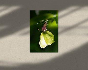 Citroenvlinder (Gonepteryx rhamni) van Margreet Frowijn