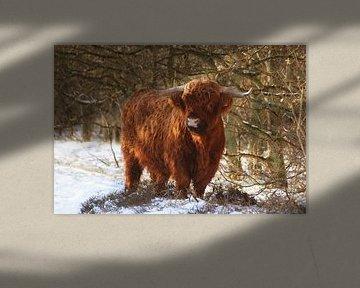 Schotse hooglander in de sneeuw van Margreet Frowijn