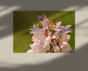 Vleeskleurige orchis close-up von Margreet Frowijn