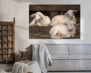 Lammetjes op de Veluwe van Cilia Brandts