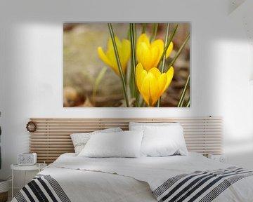 gelbe Krokusse von Cora Unk