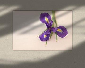 iris von Marian van den Boogaard