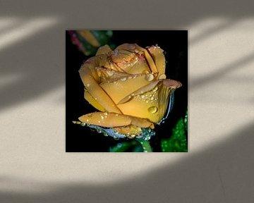 Gele roos na de regen von Yvon van der Wijk
