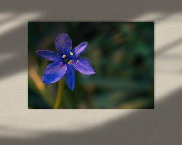 Blauwe bloem in warm licht von Anne van de Beek