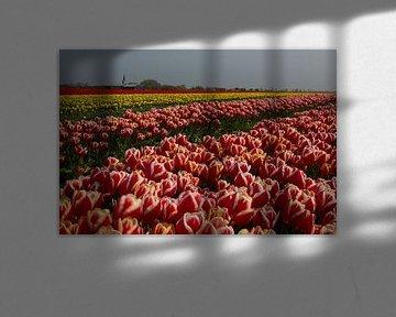 Bloembollenteelt (tulpen) aan de Waddenzeedijk von Meindert van Dijk