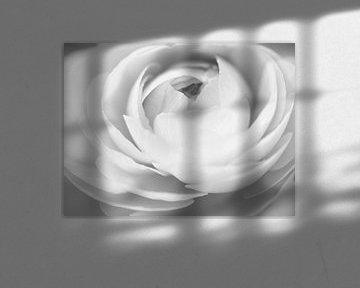 Zwart-wit weergave van een ranonkel von Cindy Arts