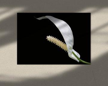 Weiße Blume, Araceae von Rietje Bulthuis