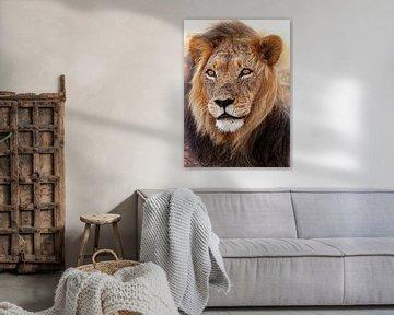 Lion in South Africa, wildlife van W. Woyke