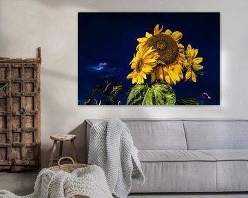 Zonnebloemen en een donkerblauwe lucht von Harrie Muis