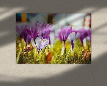 Krokus, der Frühling beginnt von Stedom Fotografie