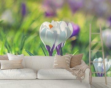 White crocuses van Alessia Peviani