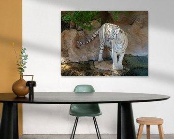 Een mooie bengaalse tijger die zijn/haar tong uitsteekt. A Beautiful Bengal Tiger sticking out its t van Jeffrey Glas