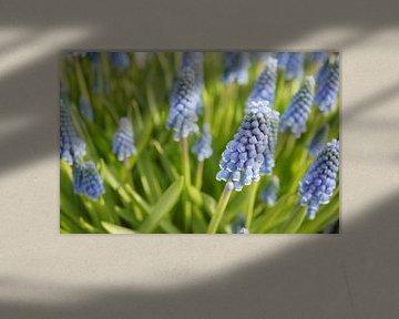 Blauwe druifjes von Anne van de Beek
