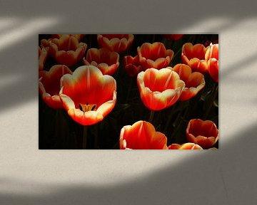 Tulpen in zonlicht von Anne van de Beek