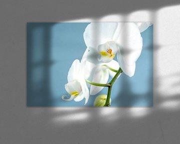 Witte orchidee op een lichtblauwe achtergrond von Nannie van der Wal