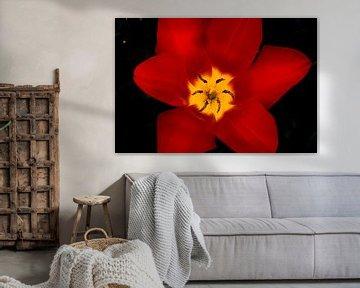 Rode tulp met zwarte achtergrond von Ineke Huizing