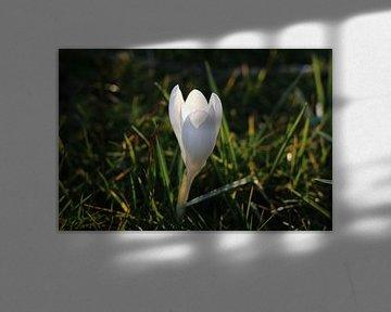 Krokus/ lente bloem von Marianna Pobedimova